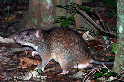 Long-Tailed Giant Rat